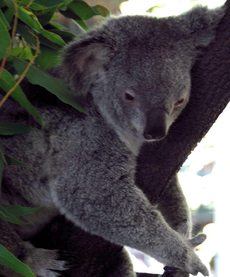 TravelXL-van-Limburg-AUSTRALIE-koala