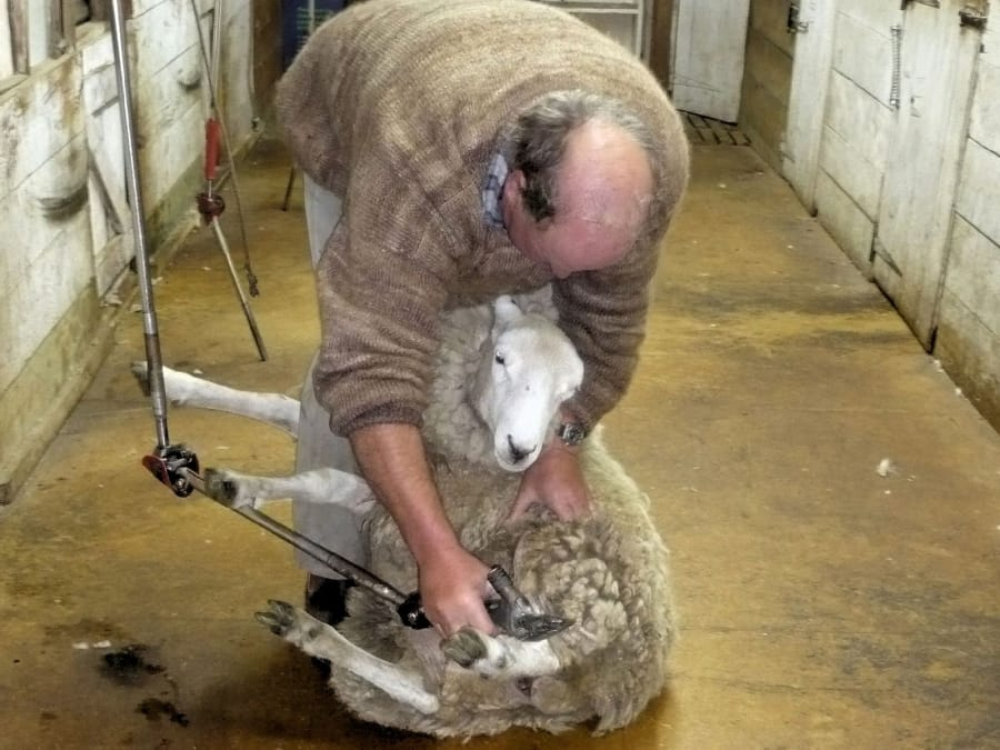 TravelXL-van-Limburg-NieuwZeeland-Zuidereiland-schapen-scheren