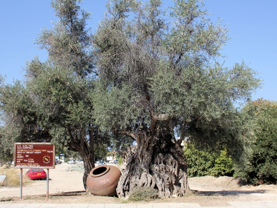 TravelXL-van-Limburg-CYPRUS-Polis-olijfboom