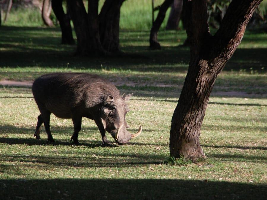 TravelXL-van-Limburg-Zuid-AFRIKA-wrattenzwijn
