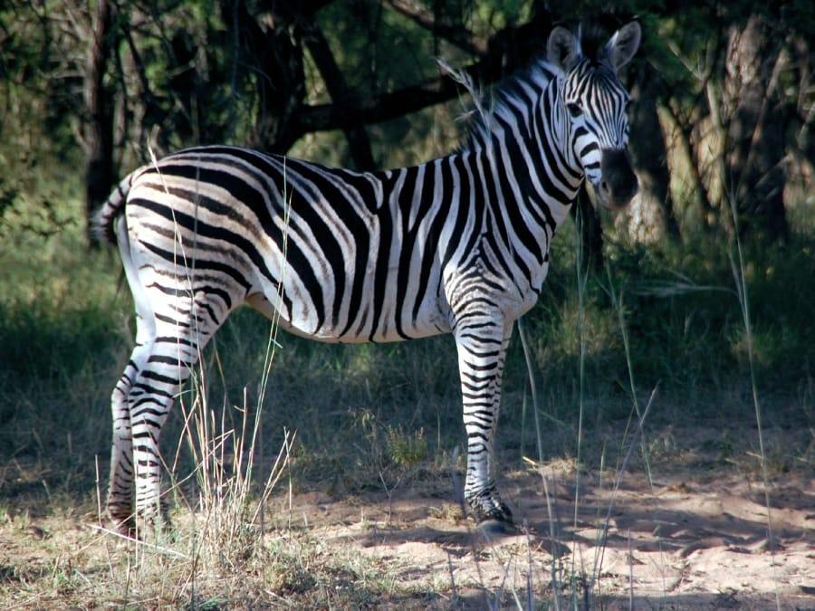 TravelXL-van-Limburg-Zuid-AFRIKA-zebra