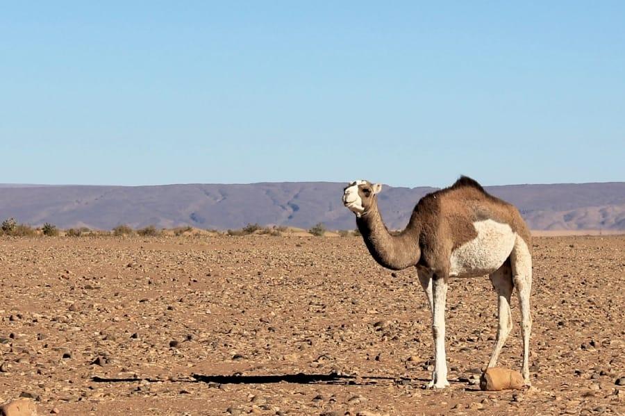 TravelXL-van-Limburg-MAROKKO-woestijn-kameel