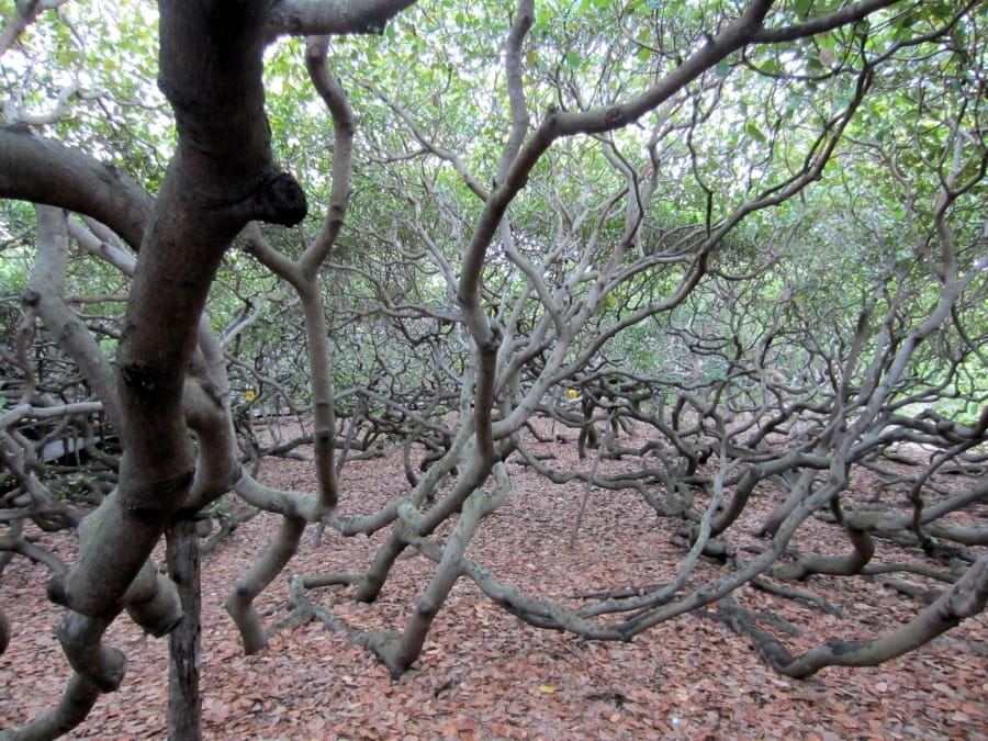 TravelXL-van-Limburg-BRAZILIE-cashewnotenboom