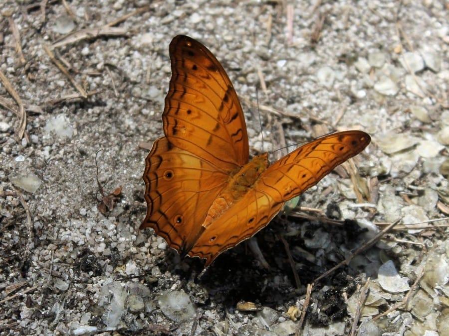 TravelXL-van-Limburg-MALEISIE-vlinder-tijdens-trekking