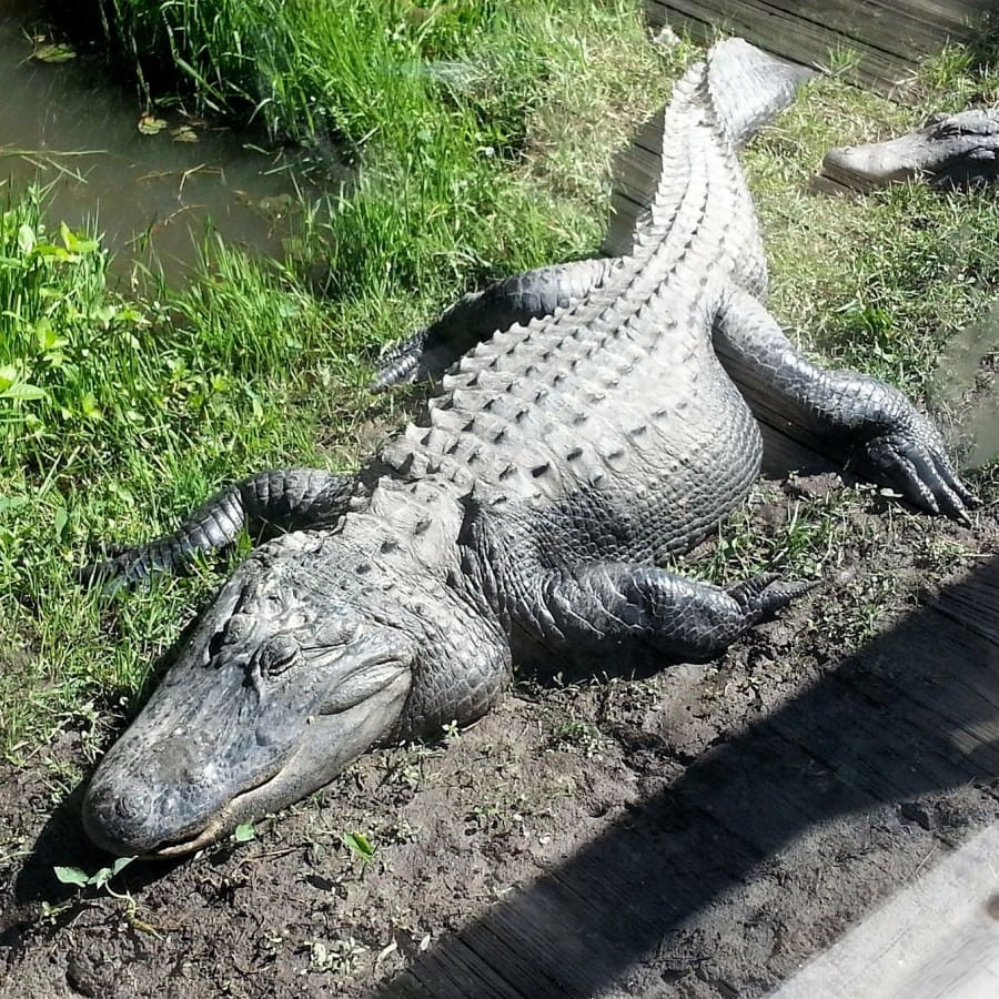 TravelXL-van-Limburg-FLORIDA-alligator