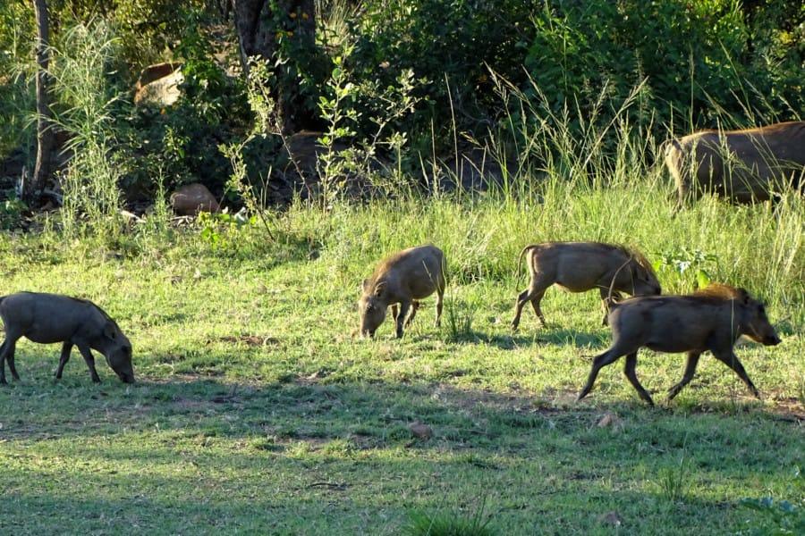 travelxl-van-limburg-zuid-afrika-kololo-wrattenzwijntjes
