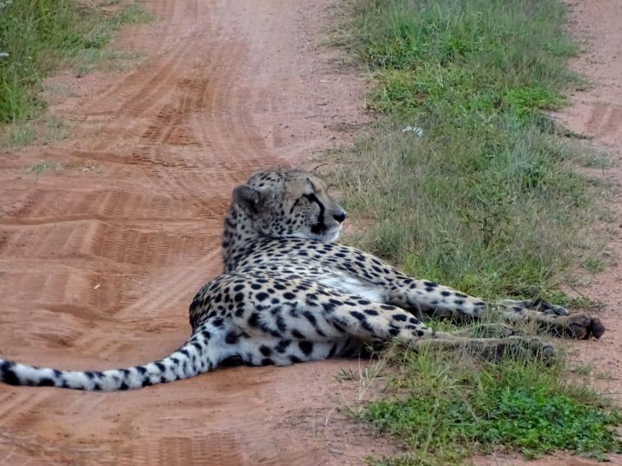 travelxl-van-limburg-zuid-afrika-welgevonden-mama-cheetah